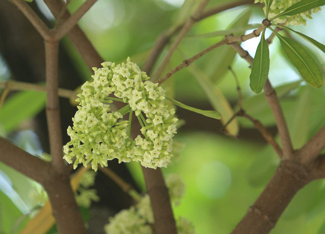 Loài hoa này thường nở vào mùa thu và đầu đông, xuất hiện nhiều trong các bài hát về Hà Nội, nổi tiếng là bài Nhớ mùa thu Hà Nội của Trịnh Công Sơn. Việc hoa nở vào mùa hè, sớm hơn bình thường ít nhất 4 tháng, khiến nhiều người dân ngạc nhiên.