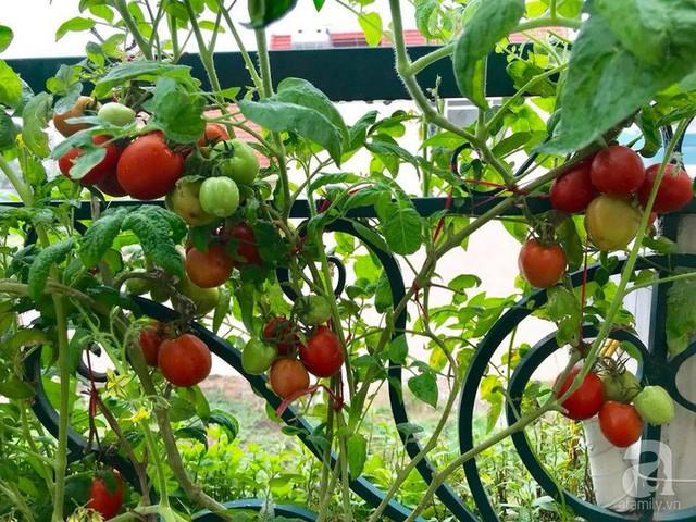 Cà chua leo ở lan can sân thượng.