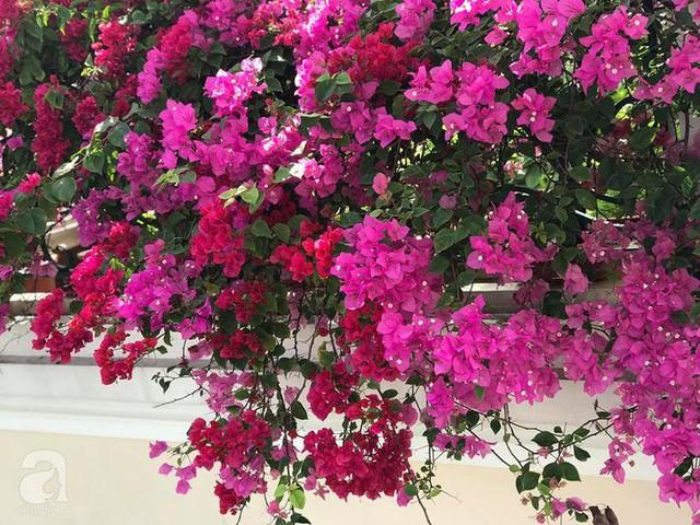 Xung quanh lan can được chị Mai Liên trồng hoa giấy trang trí nhà.