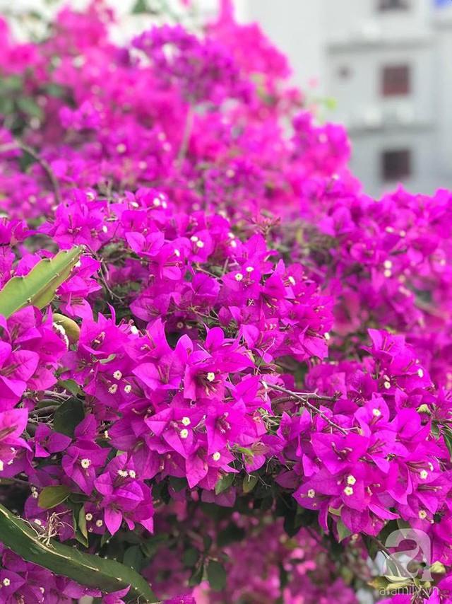 Hoa giấy nở rực rỡ trong nắng.