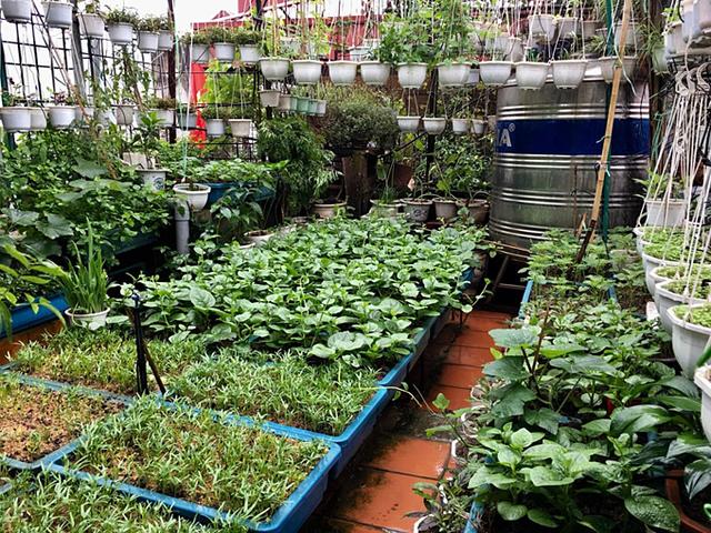Vườn rau 40 m2 trên sân thượng của cô Nga vẫn tươi tốt ngay cả trong những đợt nắng nóng đỉnh điểm.
