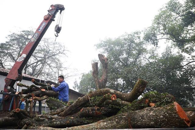 2 cây sưa trong chùa Phụ Chính được chặt hạ vào 8h15 sáng 27/1/2019. Ảnh: MĐ