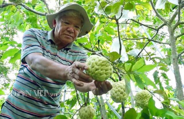 """Ban đầu chỉ vì sự hiếu kỳ, nhưng sau gần 6 năm, giờ đây lão nông này đã sở hữu riêng mình vườn mãng cầu """"khổng lồ"""" với màu sắc độc lạ, hiếm có ở miền Tây với hơn 2.000 cây. Ảnh: M.A."""