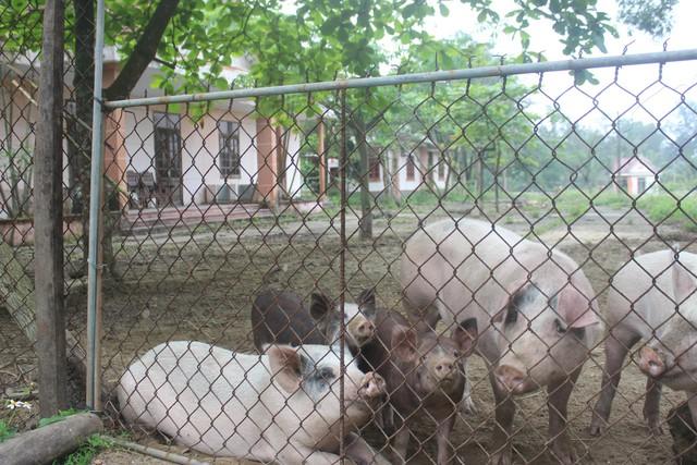 Nhiều khu nhà nghỉ lớn được người dân dùng để chăn nuôi lợn, dê..