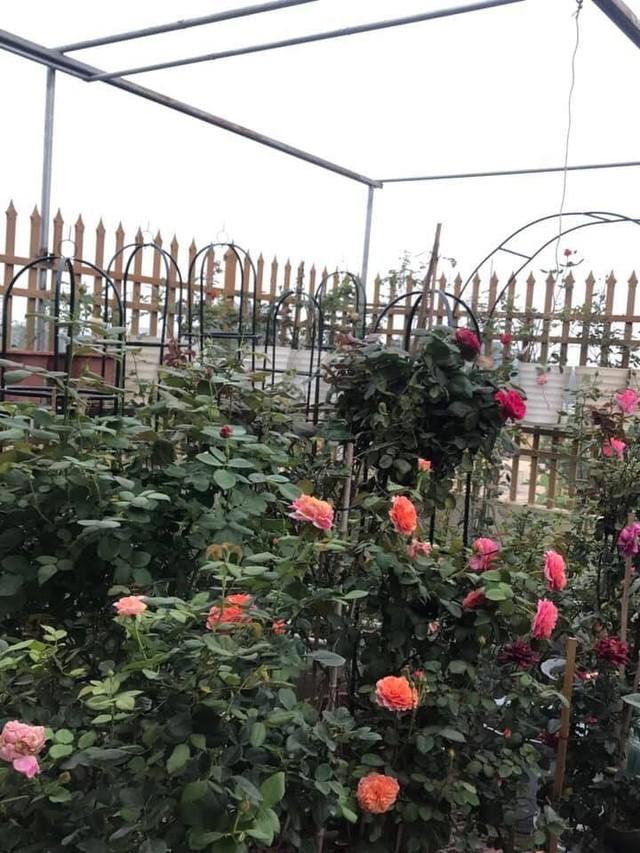 Vườn hồng nhỏ xinh trên sân thượng.