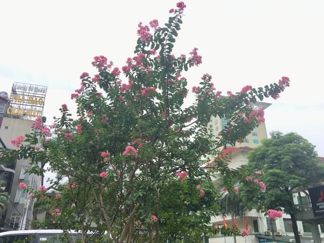 Hoa tường vi thường nở rộ vào tháng 2 đến tháng 6, cánh hoa mỏng manh, nhẹ nhàng được ví như những cô gái xinh đẹp cần người che chở.