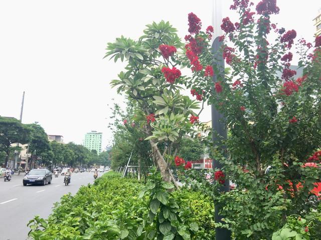 Từ lâu, hoa tường vi đã trở thành một điểm nhấn đặc biệt cho tuyến phố Nguyễn Chí Thanh - Trần Duy Hưng vào mỗi độ hè về. Hoa tường vi đỏ chen lẫn sắc hồng như tô điểm dọc cả tuyến đường.
