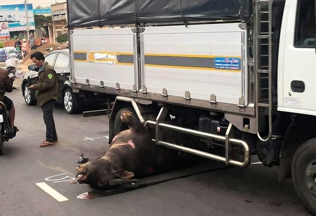 Trâu đực nặng hơn 400kg bị xe tải tông tử vong trên Quốc lộ 20 - Ảnh 1.