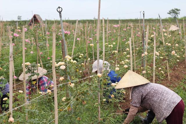 Hiện nay, vườn hồng có 4 lao động chính là các bác nông dân làm việc thường xuyên với mức thu nhập trung bình 5 triệu đồng/người/tháng, ngoài ra có khoảng 20 lao động làm việc theo mùa vụ.