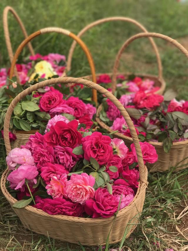 Vườn hồng sử dụng bột tỏi và bột ớt xay nhuyễn để diệt trừ các loài sâu bọ nhưng riêng bọ cánh cứng (thường xuất hiện vào ban đêm), toàn bộ nhân lực của nhà vườn được huy động để tự tay bắt sâu, nhổ cỏ.