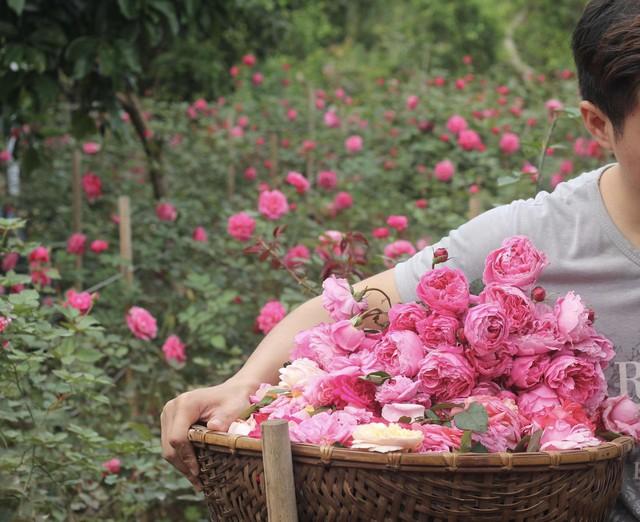 Sau hơn 2 năm thử làm... nông dân, thành quả mà cô nhận được là vườn hoa hồng đẹp hút hồn khách tham quan, các sản phẩm từ hoa hồng cũng khẳng định được chất lượng và ngày càng được nhiều người lựa chọn.