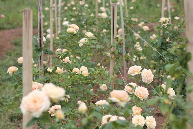 Vườn hồng khổng lồ của Hoàng Kim Ngọc hiện có khoảng 200 loại hồng khác nhau với số lượng hơn 20.000 gốc, chủ yếu là các loại hồng ngoại như Juliet, Masora, Jubelee...