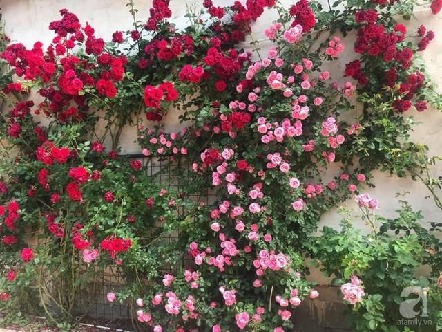 Giàn hồng nở rực rỡ là món quà ý nghĩa mà chồng dành tặng cho chị Linh.