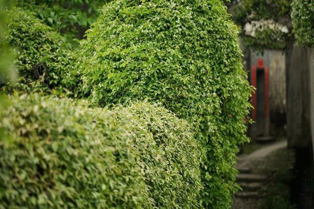 Lối vào nhà với hàng rào xanh.