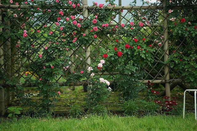 Hàng rào trồng hồng leo.