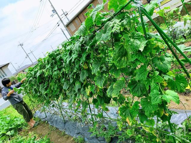 Góc vườn của gia đình chị Thúy khá rộng, đủ để chị trồng đa dạng các loại rau quả.