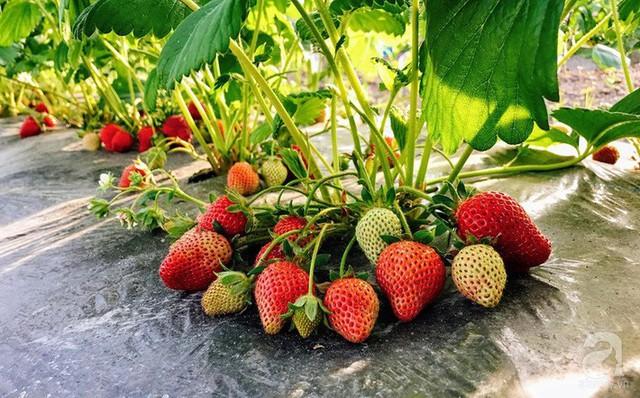 Mùa hè năm nay, chị Phương Thúy trồng thêm nhiều dâu tây.
