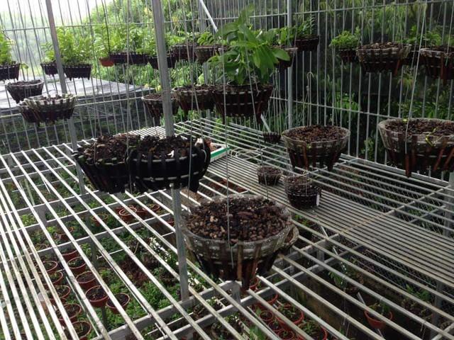 Phú Thọ: Chủ vườn bị kẻ gian đột nhập trộm 50 giò lan tiền tỷ - Ảnh 1.