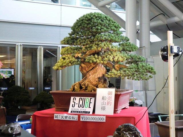 Cây bonsai được bán với giá 100 triệu yen, tương đương 21,6 tỷ đồng . Ảnh: S-Cube.