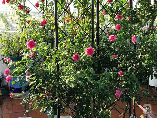 Sân thượng hoa hồng đẹp mộng mơ như trong cổ tích của cô giáo dạy Văn ở thành phố biển Nha Trang - Ảnh 1.
