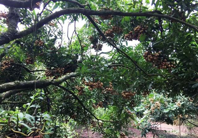 Dân Hà thành bỏ hàng chục triệu đồng bao trọn cây nhãn tiến vua hiếm có để tự hái ăn cả mùa - Ảnh 1.