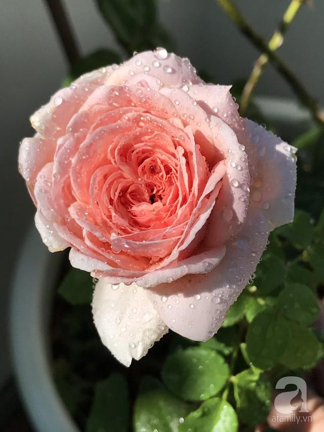 Sân thượng hoa hồng đẹp mộng mơ như trong cổ tích của cô giáo dạy Văn ở thành phố biển Nha Trang - Ảnh 11.