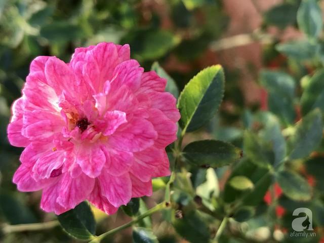 Sân thượng hoa hồng đẹp mộng mơ như trong cổ tích của cô giáo dạy Văn ở thành phố biển Nha Trang - Ảnh 12.