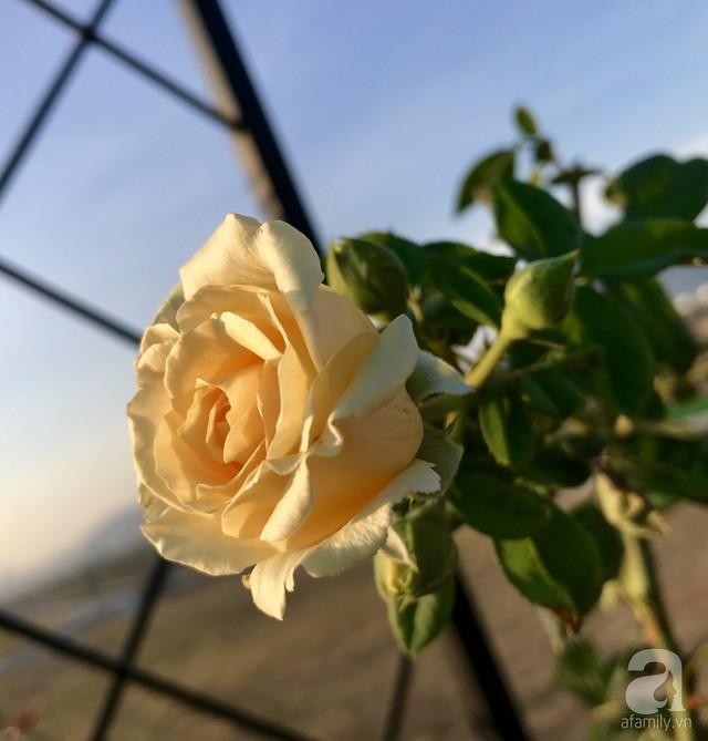 Sân thượng hoa hồng đẹp mộng mơ như trong cổ tích của cô giáo dạy Văn ở thành phố biển Nha Trang - Ảnh 13.
