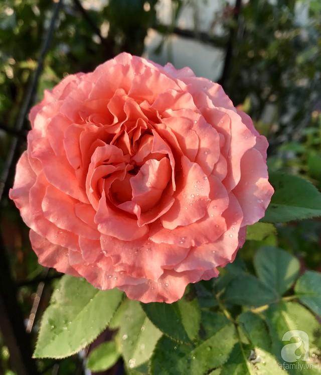 Sân thượng hoa hồng đẹp mộng mơ như trong cổ tích của cô giáo dạy Văn ở thành phố biển Nha Trang - Ảnh 14.