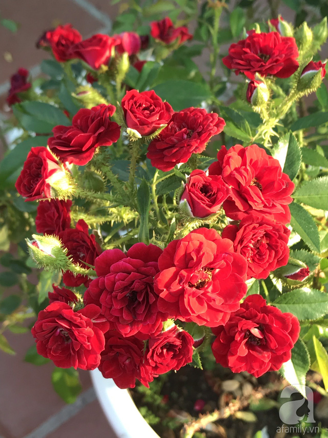 Sân thượng hoa hồng đẹp mộng mơ như trong cổ tích của cô giáo dạy Văn ở thành phố biển Nha Trang - Ảnh 17.