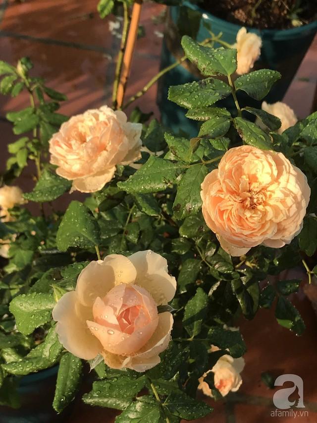 Sân thượng hoa hồng đẹp mộng mơ như trong cổ tích của cô giáo dạy Văn ở thành phố biển Nha Trang - Ảnh 19.