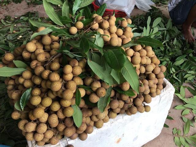 Dân Hà thành bỏ hàng chục triệu đồng bao trọn cây nhãn tiến vua hiếm có để tự hái ăn cả mùa - Ảnh 3.