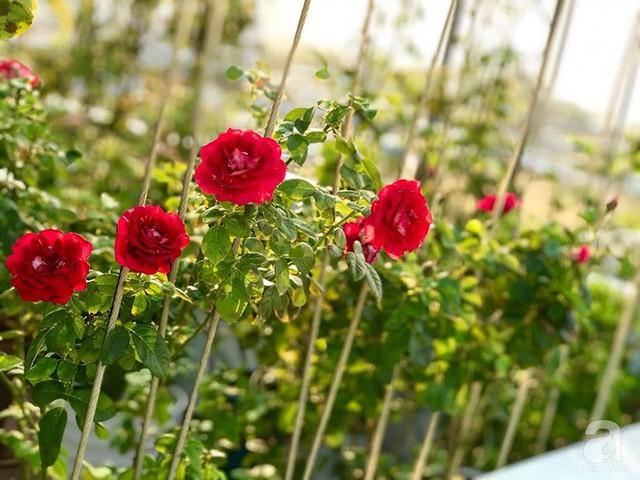 Sân thượng hoa hồng đẹp mộng mơ như trong cổ tích của cô giáo dạy Văn ở thành phố biển Nha Trang - Ảnh 22.
