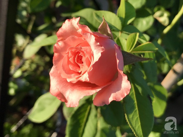 Sân thượng hoa hồng đẹp mộng mơ như trong cổ tích của cô giáo dạy Văn ở thành phố biển Nha Trang - Ảnh 25.
