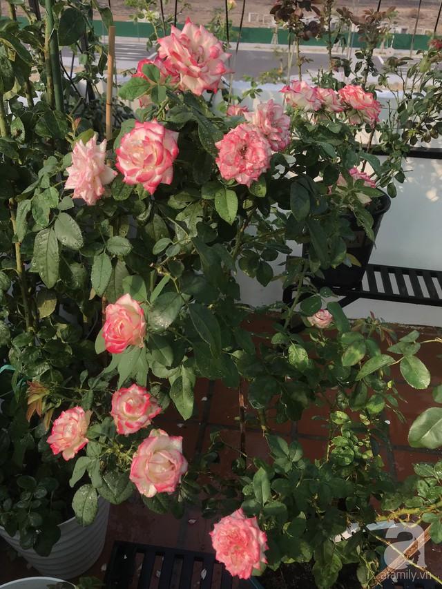 Sân thượng hoa hồng đẹp mộng mơ như trong cổ tích của cô giáo dạy Văn ở thành phố biển Nha Trang - Ảnh 26.