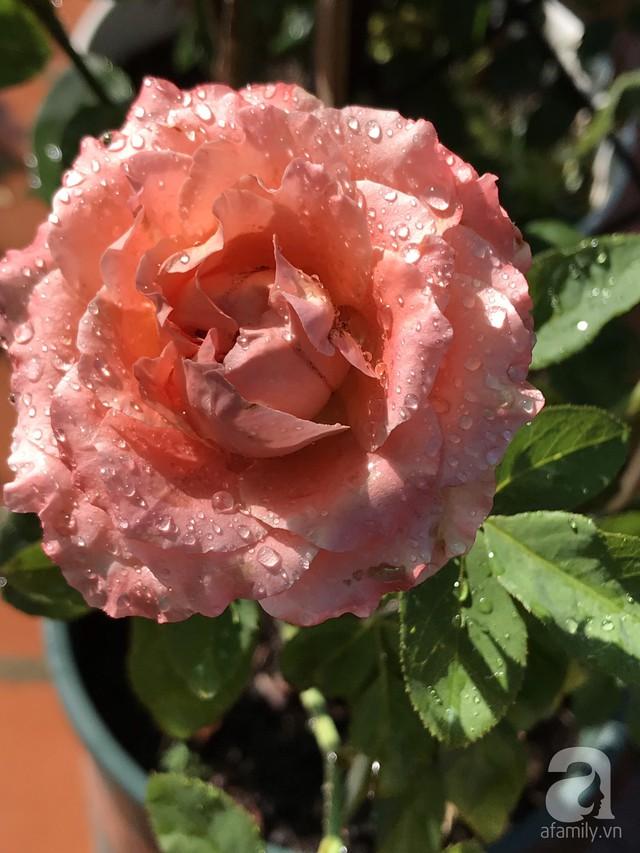 Sân thượng hoa hồng đẹp mộng mơ như trong cổ tích của cô giáo dạy Văn ở thành phố biển Nha Trang - Ảnh 28.