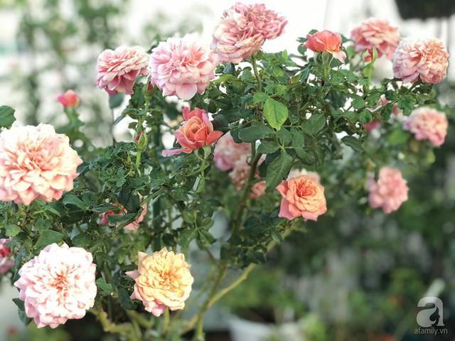 Sân thượng hoa hồng đẹp mộng mơ như trong cổ tích của cô giáo dạy Văn ở thành phố biển Nha Trang - Ảnh 4.