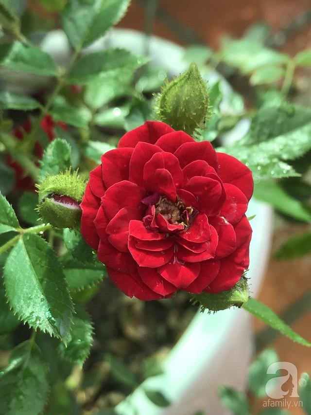 Sân thượng hoa hồng đẹp mộng mơ như trong cổ tích của cô giáo dạy Văn ở thành phố biển Nha Trang - Ảnh 34.