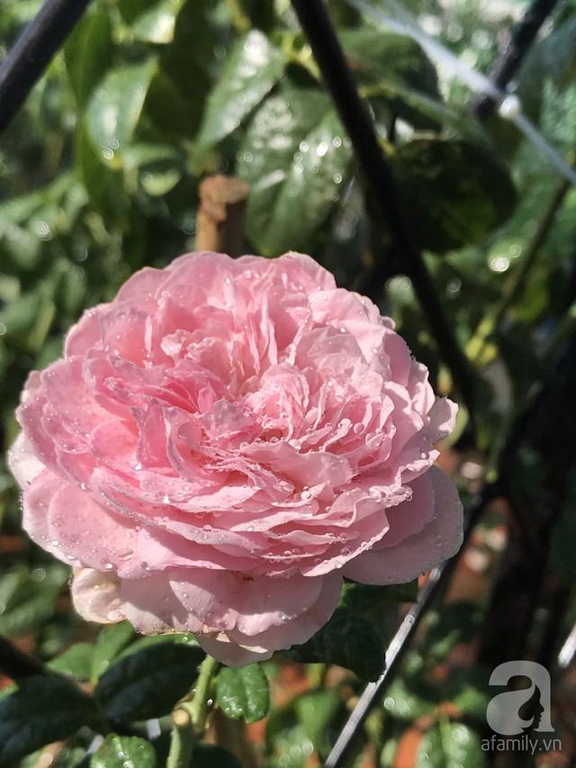 Sân thượng hoa hồng đẹp mộng mơ như trong cổ tích của cô giáo dạy Văn ở thành phố biển Nha Trang - Ảnh 42.