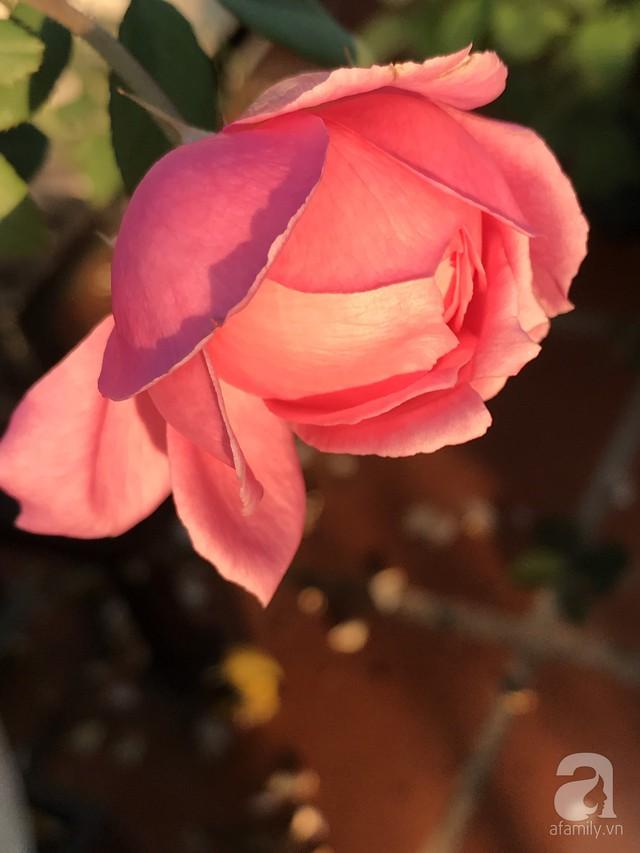 Sân thượng hoa hồng đẹp mộng mơ như trong cổ tích của cô giáo dạy Văn ở thành phố biển Nha Trang - Ảnh 45.