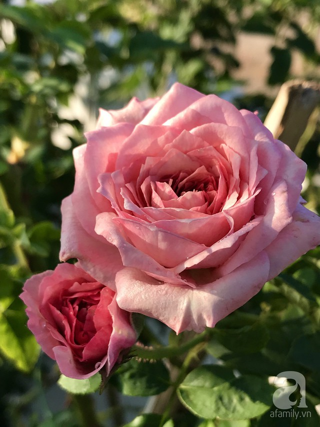 Sân thượng hoa hồng đẹp mộng mơ như trong cổ tích của cô giáo dạy Văn ở thành phố biển Nha Trang - Ảnh 10.