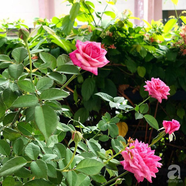 Ngôi nhà phố luôn ngát hương bởi 50 gốc hổng rực rỡ trên ban công ở Quận 1, Sài Gòn - Ảnh 36.