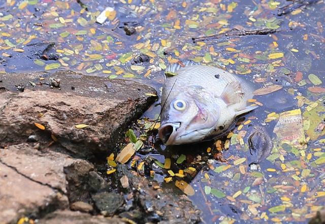 Hồ Trúc Bạch - Hà Nội bất ngờ xuất hiện tình trạng cá chết hàng loạt - Ảnh 1.