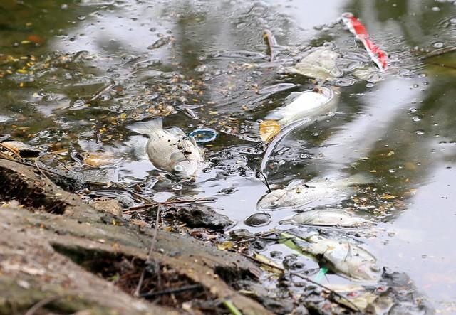 Hồ Trúc Bạch - Hà Nội bất ngờ xuất hiện tình trạng cá chết hàng loạt - Ảnh 3.