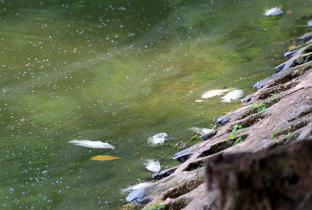 Hồ Trúc Bạch - Hà Nội bất ngờ xuất hiện tình trạng cá chết hàng loạt - Ảnh 5.