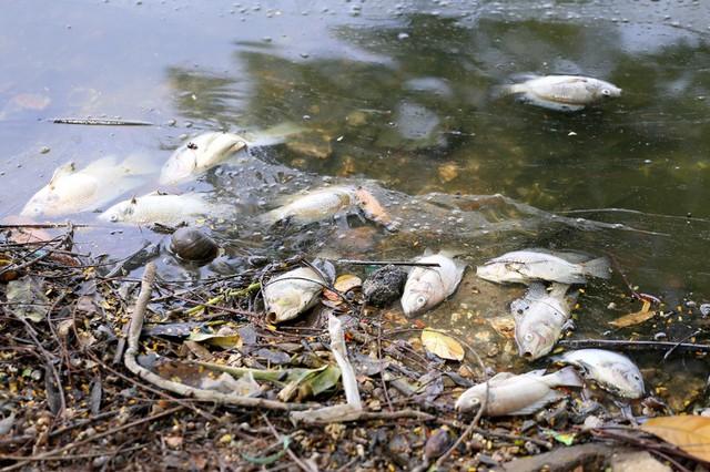 Hồ Trúc Bạch - Hà Nội bất ngờ xuất hiện tình trạng cá chết hàng loạt - Ảnh 6.