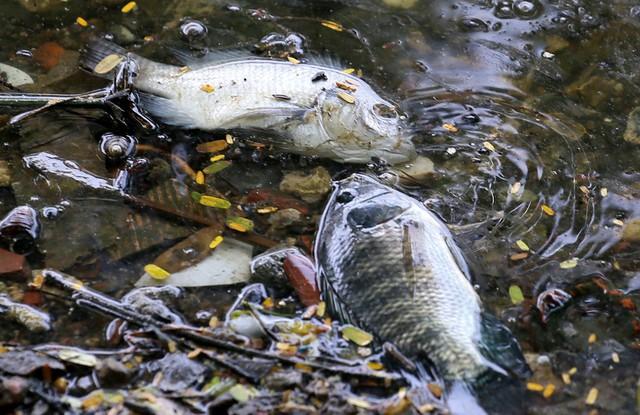 Hồ Trúc Bạch - Hà Nội bất ngờ xuất hiện tình trạng cá chết hàng loạt - Ảnh 8.