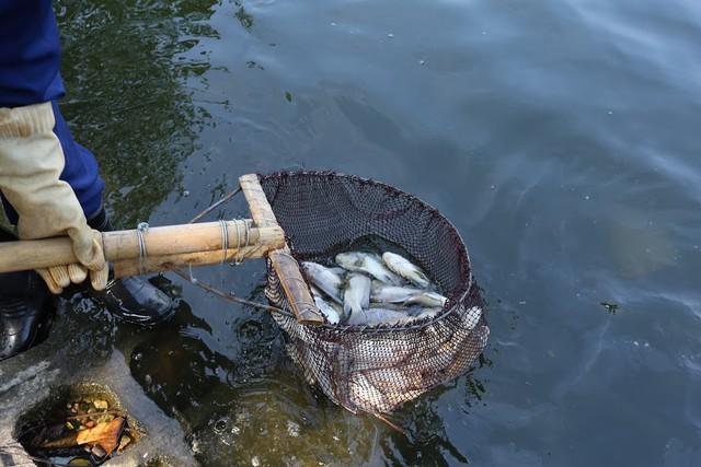 Hồ Trúc Bạch - Hà Nội bất ngờ xuất hiện tình trạng cá chết hàng loạt - Ảnh 13.