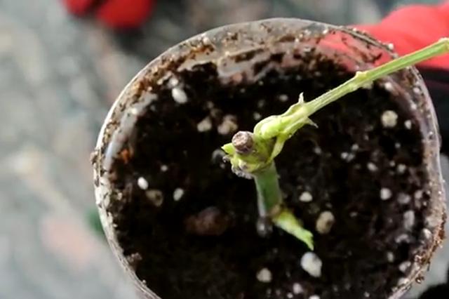 Cách trồng hoa hồng từ cành siêu đơn giản siêu nhanh, giúp bạn sớm có vườn hồng như mơ - Ảnh 7.