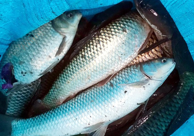 Sau mưa ngập, người Thủ đô hào hứng bắt hàng tấn cá dưới sông Kim Ngưu - Ảnh 8.